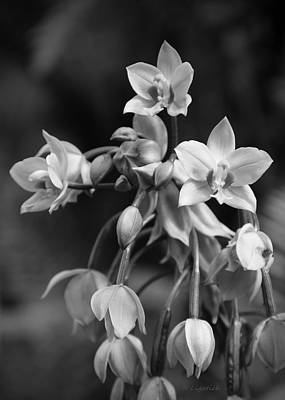 Poster featuring the photograph Philippine Orchids In Black And White by Kerri Ligatich
