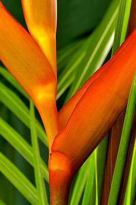 Photograph Of A Parrot Flower Heliconia Poster by Perla Copernik