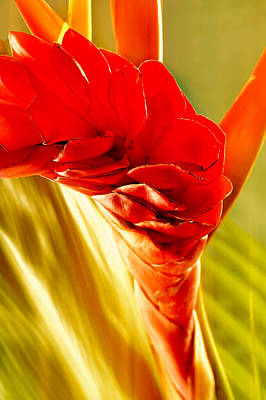 Photograph Of A Red Ginger Flower Poster by Perla Copernik