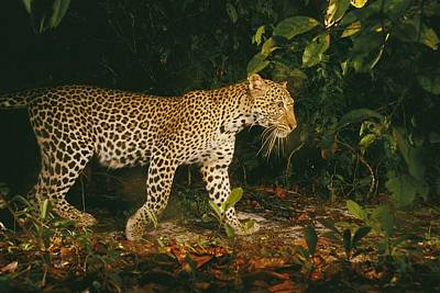 Picture Of A Patrolling Leopard Poster by Michael Nichols