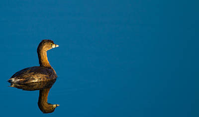 Pied-billed Grebe Contemplating Its Future Poster