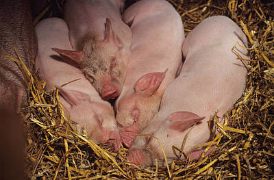 Piglets Poster by David Aubrey