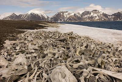 Piles Of Animal Bones Line The Icy Poster