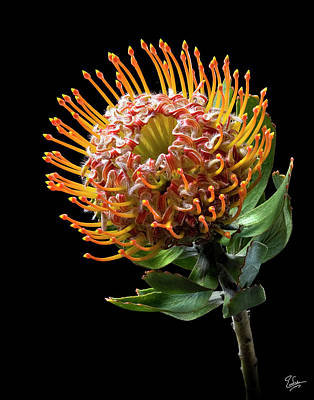Pin Cushion Protea Poster by Endre Balogh