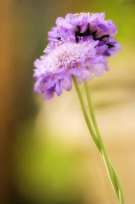 Pincushion Flowers (scabiosa Columbaria) Poster