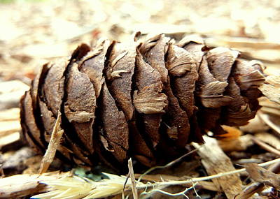 Pine Cone Poster by Cindy Wright