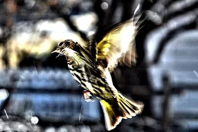 Pine Siskin In Flight Poster by Don Mann