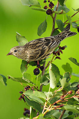 Pine Siskin On Berries Poster by Donald Kovalsky