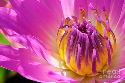Pink And Yellow Water Lily Close Up Poster