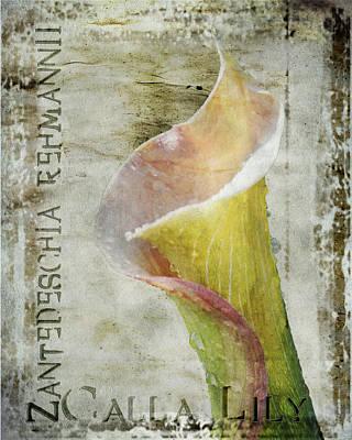 Pink Calla Lily Poster