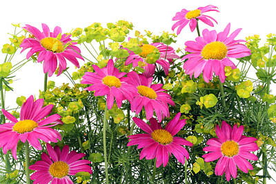 Poster featuring the photograph Pink Camomiles Background by Aleksandr Volkov