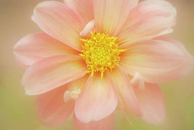Pink Dahlia Flower Poster by Kathleen Clemons