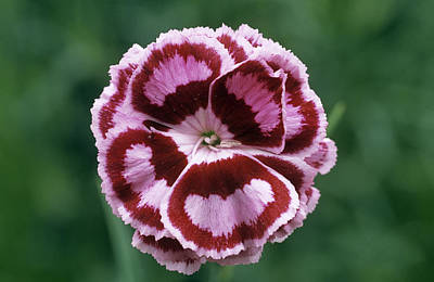 Pink (dianthus 'becky Robinson') Poster by Archie Young
