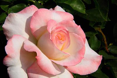 Pink Edge Rose Poster