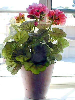 Pink Geranium Plant In Window Poster