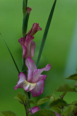 Poster featuring the photograph Pink Gladiolus by Ed Gleichman