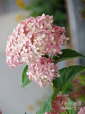 Poster featuring the photograph Pink Hydrangea by France Laliberte