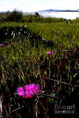Pink Ice Plant Flower . Carpobrotus Edulis Succulent . 7d15067 Poster