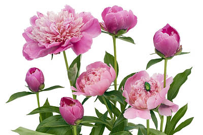 Poster featuring the photograph Pink June Peonies And A Green Bug by Aleksandr Volkov
