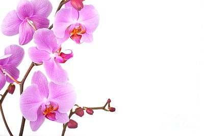 Pink Orchids Poster by Jane Rix