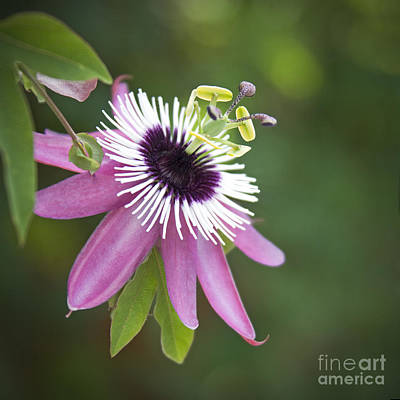 Pink Passion Flower Poster by Glennis Siverson