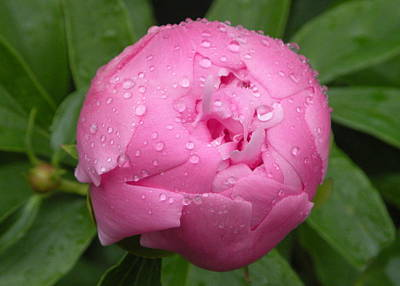 Pink Peony  Poster by Josie Dupuis