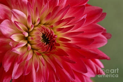 Pink Perfection Dahlia Poster by Inspired Nature Photography Fine Art Photography