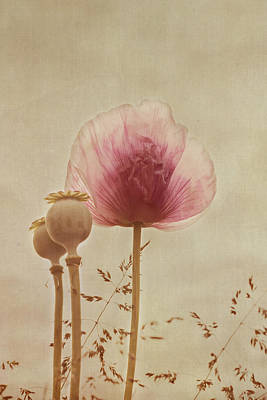 Pink Poppy Poster by Kay Maguire