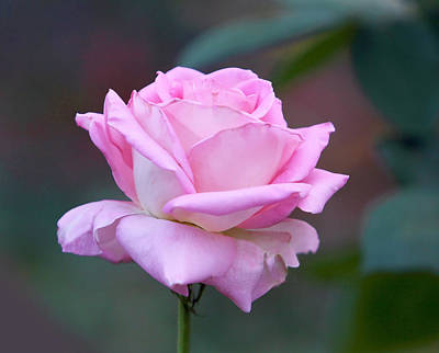 Pink Rose With Soft Leaves Poster