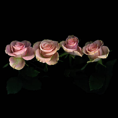 Pink Roses On Black Background Poster by Photograph by Magda Indigo
