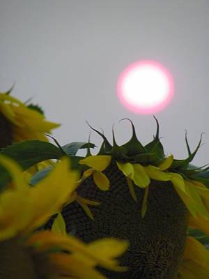 Pink Sun Setting Over Sunflower Field Poster