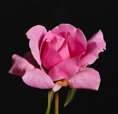 Poster featuring the photograph Pink Tea Rose by Gary Dean Mercer Clark