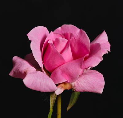 Pink Tea Rose Poster