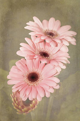 Pink  Textured Gerbras Poster by Fiona Messenger