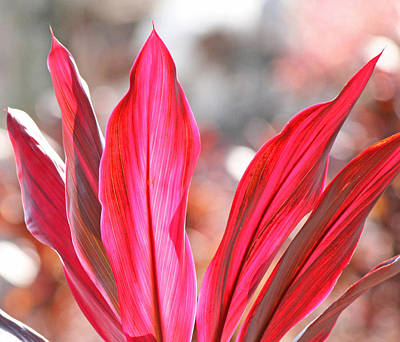 Pink Ti Plant Poster by Becky Lodes