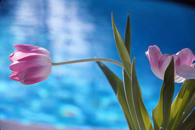 Pink Tulip Poster by Bob Whitt