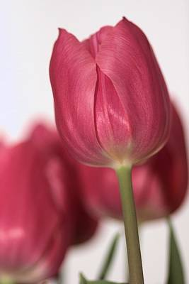 Pink Tullips Poster by Michelle Joseph-Long