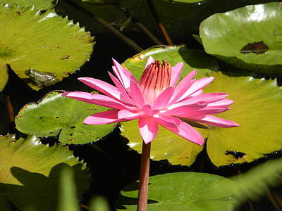 Pink Water Lilly With Frog Poster