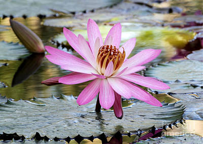 Pink Water Lily In The Morning Poster
