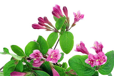 Poster featuring the photograph Pink Weigela Background by Aleksandr Volkov