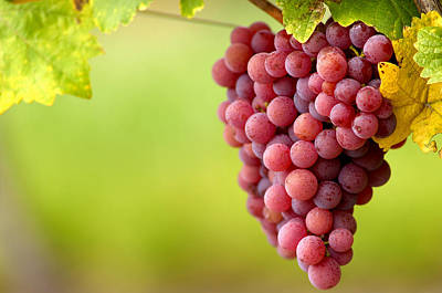 Pinot Noir Grapes Poster