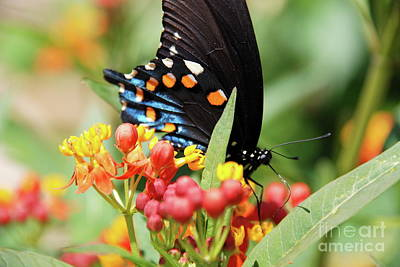 Pipevine Swallowtail Too Poster