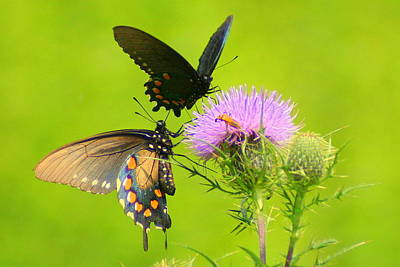 Poster featuring the photograph Pipevine Swallowtails In Tandem by Laurel Talabere