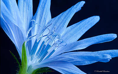 Poster featuring the photograph Pistil's Of Chicory by Randall Branham
