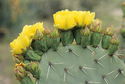 Plains Prickly Pear Blossoms Poster by Rich Reid