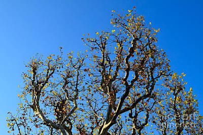 Plane Tree In Autumn Poster