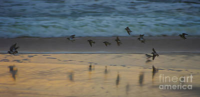 Plovers At Play On A Stormy Morning Poster