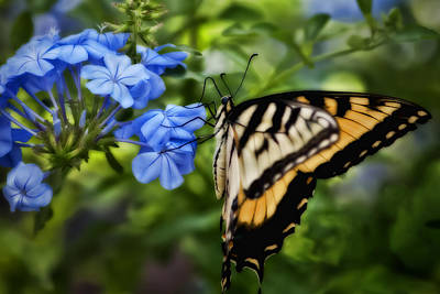 Plumbago And Swallowtail Poster by Steven Sparks