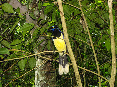 Poster featuring the photograph Plush-crested Jay by David Gleeson