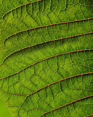 Poinsettia Leaf II Poster